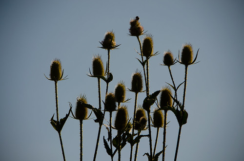 Teazle seed heads, resting bee
