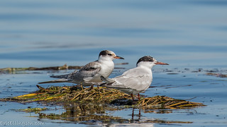 Common Tern | by esellingson