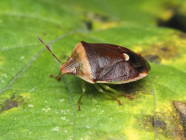 Banasa Stink Bug - Banasa dimidiata (Pentatomidae, Pentatominae) 119z-9035237