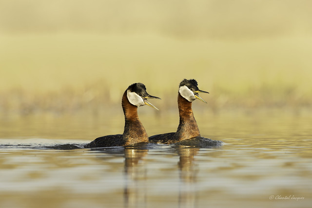 Pair of Red-necked Grebe