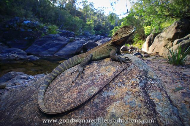 the Gippsland Water Dragon