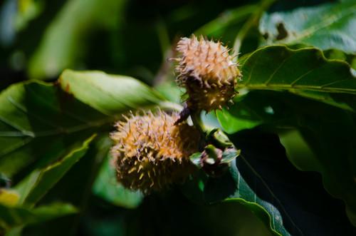 Mast ripening