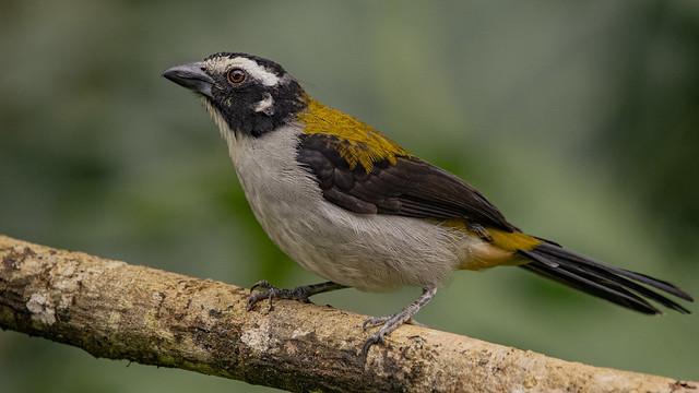Saltator atripennis (Black-winged Saltator / Saltador de alas negras)