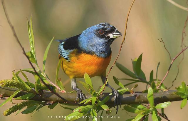 - NARANJERO .(Pipraeidea bonariensis) Blue-and-Yellow Tanager..toma  en RESERVA ECOLOGICA COSTANERA SUR..RECS! BUENOS AIRES -ARGENTINA.