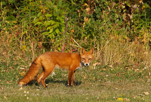 Another Male Red Fox