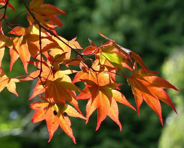 Illuminated Acer Leaves