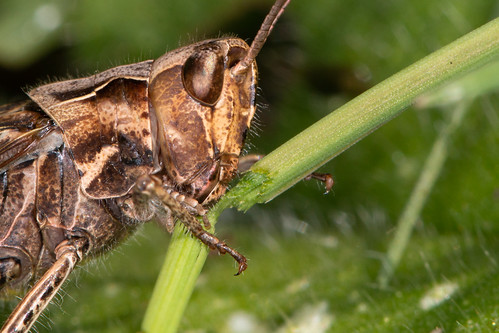 common field grasshopper - chorthippus brunneus