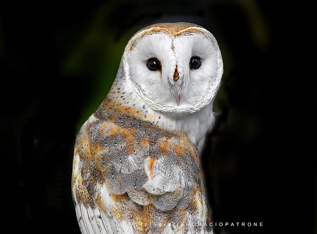 -  LECHUZA DE CAMPANARIO .TOMA Reseva Eco Parque .argentina -buenos aires .(Tyto alba - Barn owl )
