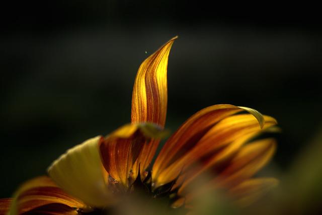 Naturfeuer Sonnenblume