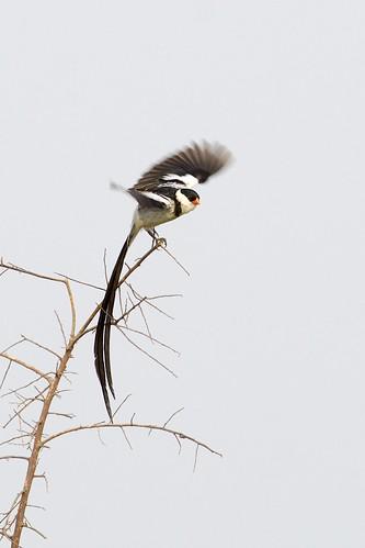 Pin-tailed Whydah (Vidua macroura), Queen Elizabeth National Park, Uganda