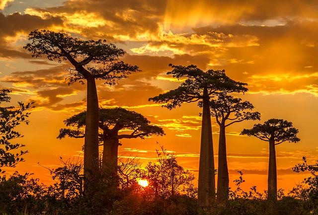 Ciel de feu sur les baobabs de Morondava