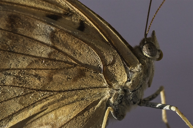 Butterfly Details