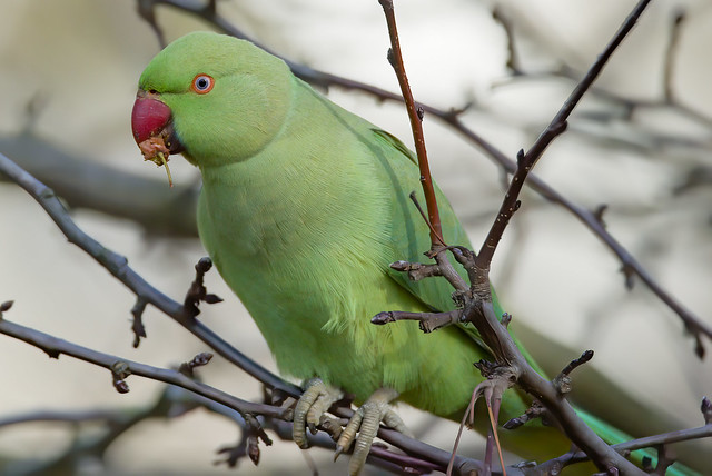 GREEN : a Rose Ringed Parakeet eating a fruit