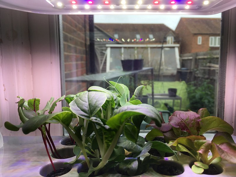 AeroGarden seedlings
