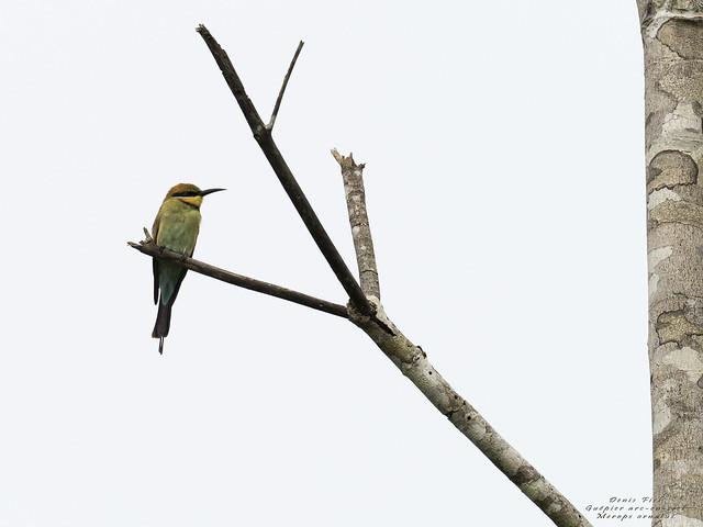 Guêpier arc-en-ciel / Merops ornatus / Rainbow bee-eater
