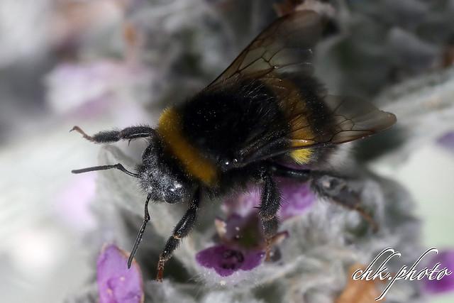 Bumblebee at work - fleißige Hummel