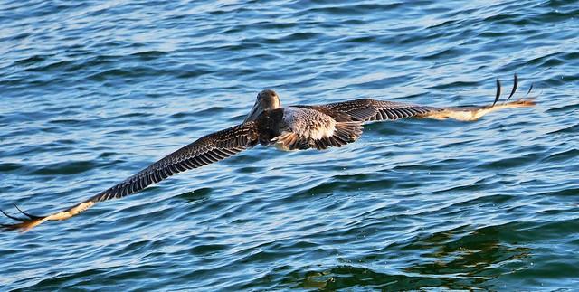 Pelican Flying Low Over The Water (Pelecanus occidentalis)