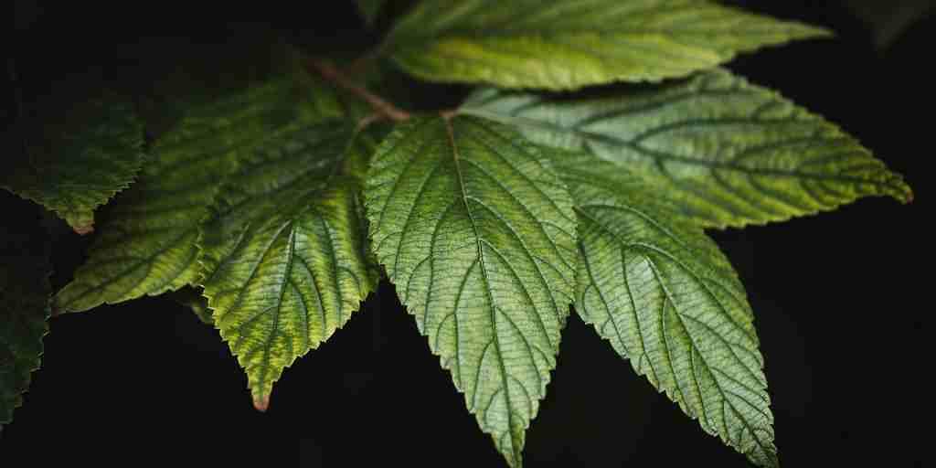 une-enzyme-clé-des-plantes-pour-produire-des-médicaments