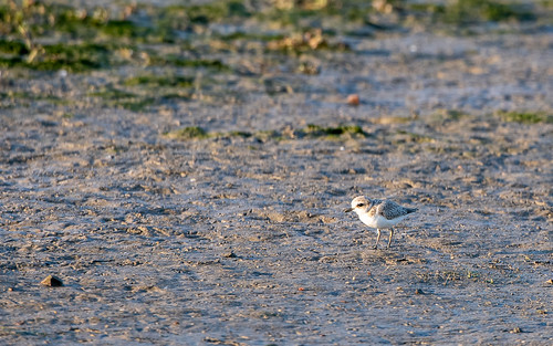 Kentish plover - Charadrius alexandrinus - Strandplevier