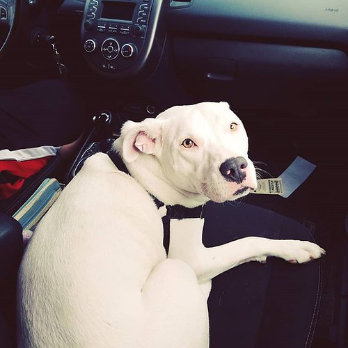 Passenger seat pittie #Carla #dogsofinstagram #pitbullsofinstagram #pitbullmix #pittie