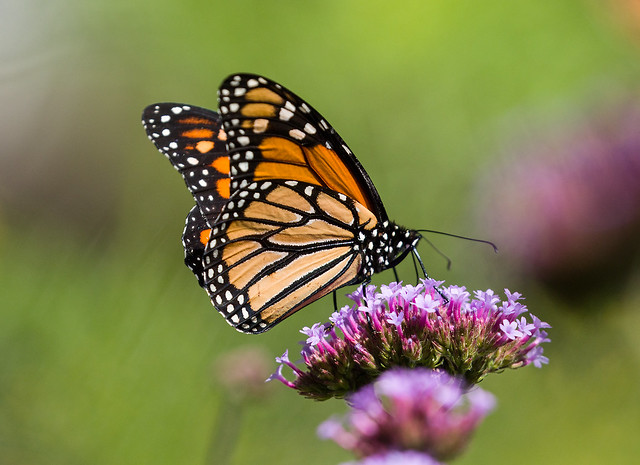 0P7A5041  Monarch Butterfly, Canada