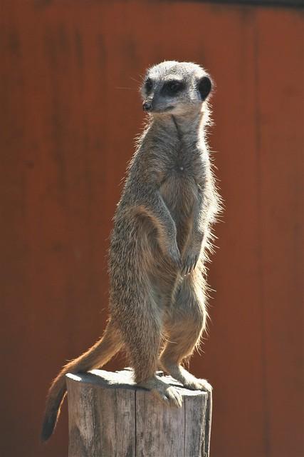 Puxton Meerkat