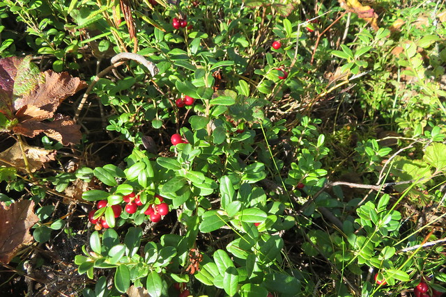 Pohl ehk palukas / Vaccinium vitis-idaea (lingonberry, partridgeberry, mountain cranberry or cowberry)