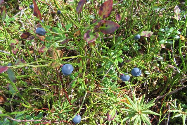 Mustika / European blueberry / Vaccinium myrtillus