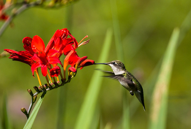 0P7A4969  Ruby-throated Hummingbird, Canada