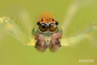 Jumping spider (Asemonea tenuipes) - DSC_5175