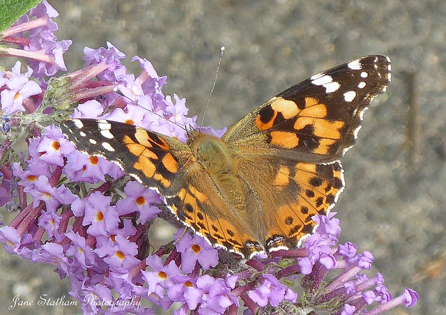 A painted lady butterfly ~ Vanessa cardui.