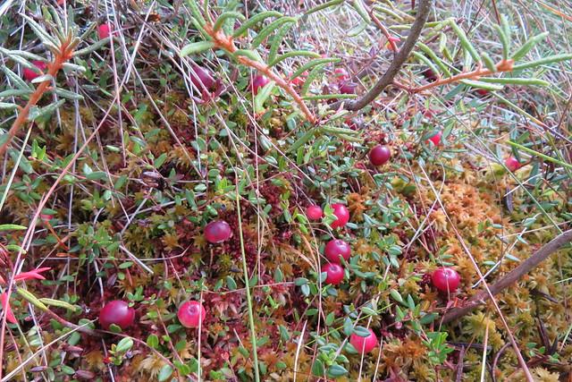 Jõhvikad / Cranberries / Oxycoccus palustris