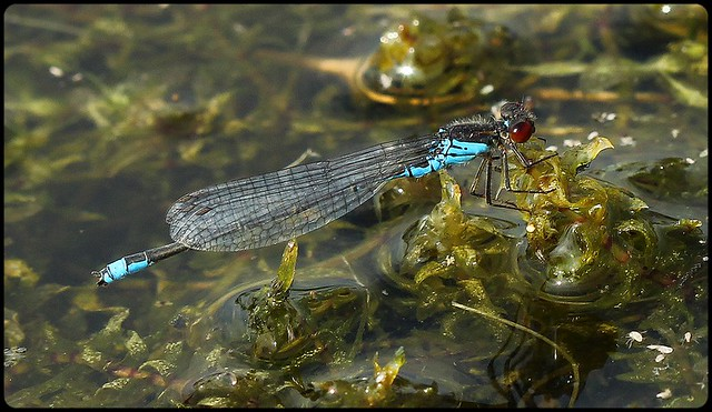 Small Red-eyed Damselfly II