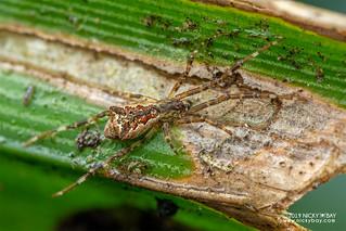 Comb-footed spider (Brunepisinus sp.) - DSC_2681