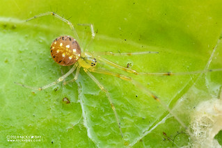 Comb-footed spider (Theridiidae) - DSC_2590b