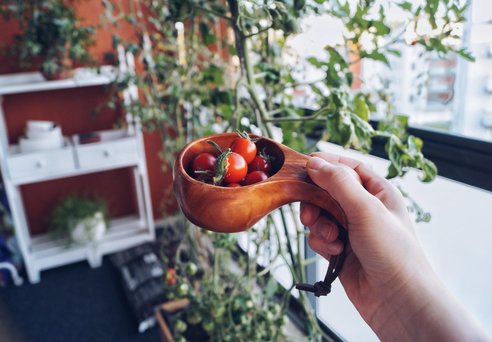 tomaatti-kasvatus