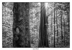 Les arbres majestueux s'imposent dans la forêt...