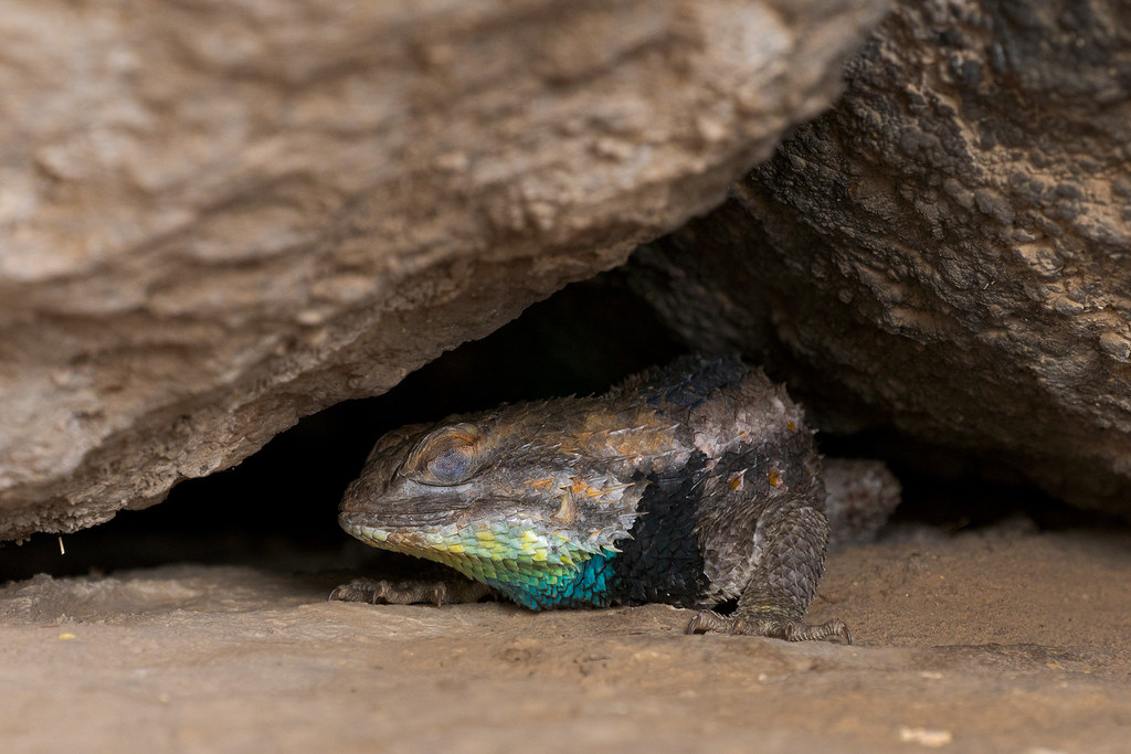 A male desert spiny lizard close his eyes as he rests beneath massive boulders at Cathedral Rock in McDowell Sonoran Preserve in Scottsdale, Arizona in July 2018
