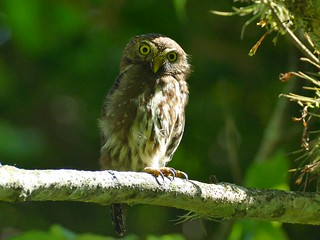 Glaucidium brasilianum brasilianum - Ferruginous Pygmy-Owl, Brasilsperlingskauz | by quitbanana