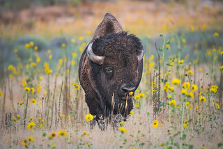 Bison in Wildflowers (1 of 1)