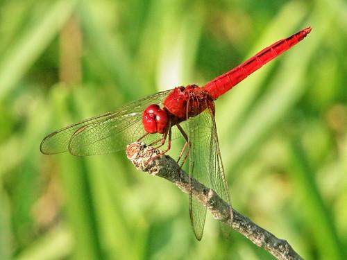 Scarlet Skimmer - Crocothemis servilia 02-20190907