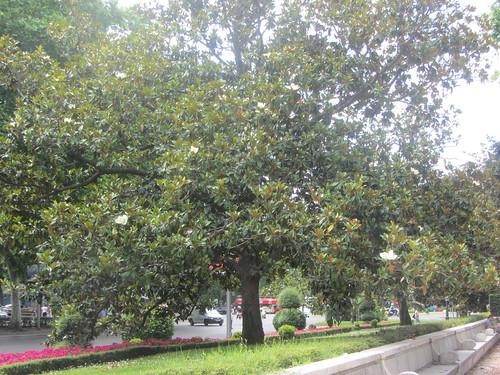 Magnolia tree, Paseo del Prado, Madrid