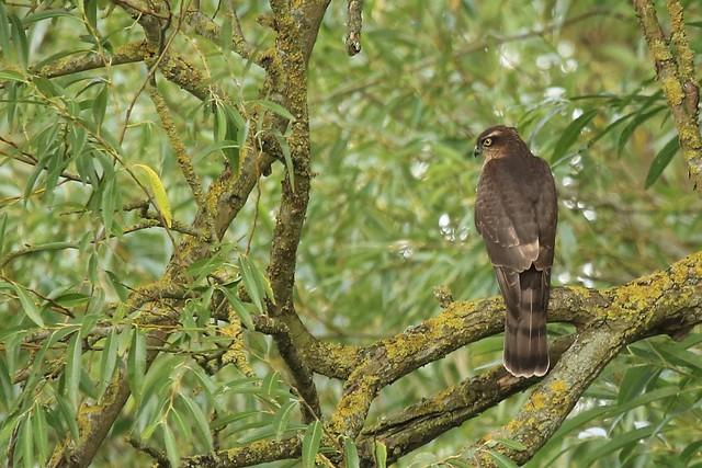 Eurasian Sparrowhawk (Accipiter nisus)  Dungeness RSPB