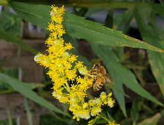 Honey Bee Feeding On Goldenrod Flowers. Taken With A Samsung Galaxy S10 Smartphone 20190904_144203