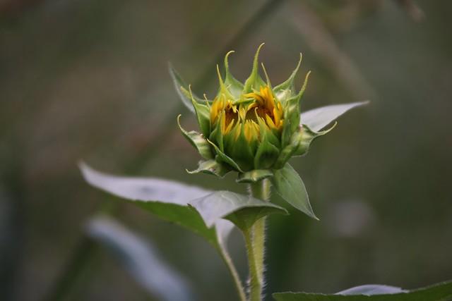 Sunflowers 2019 - 1