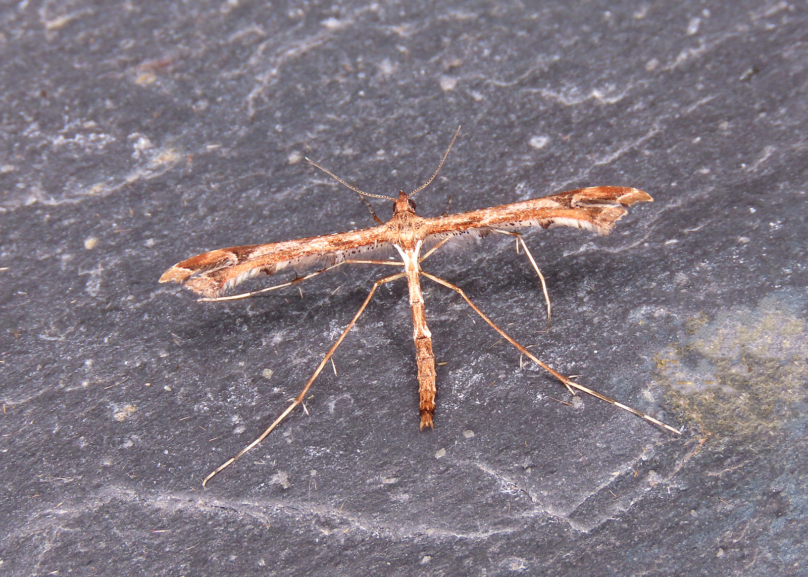 45.010 Beautiful Plume - Amblyptilia acanthadactyla