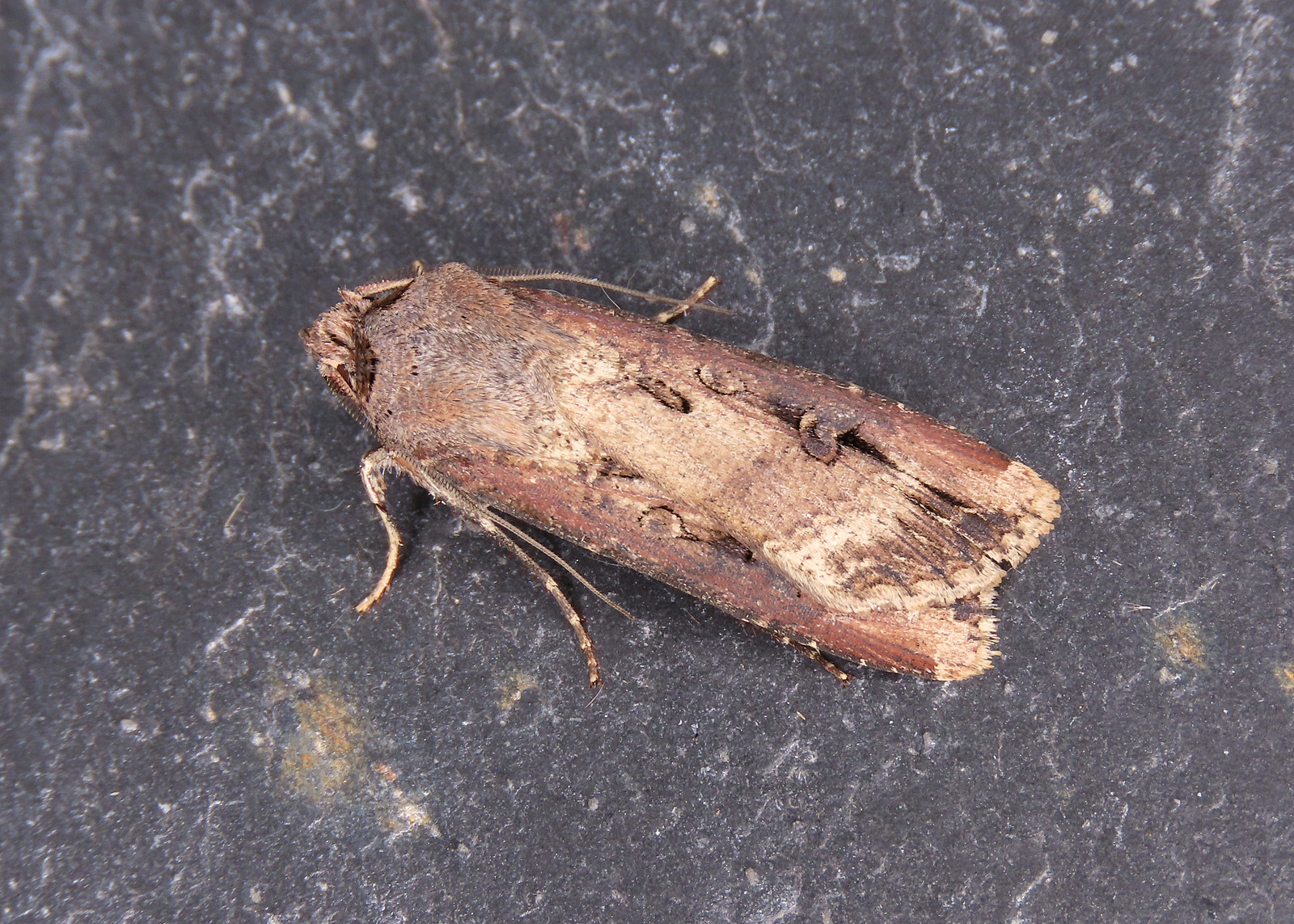 73.327 Dark Sword-grass - Agrotis ipsilon