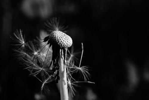 dandelion past it's best