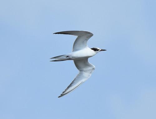 Common Tern 8-22-19
