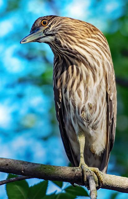 Black-crowned night heron _BSW5804